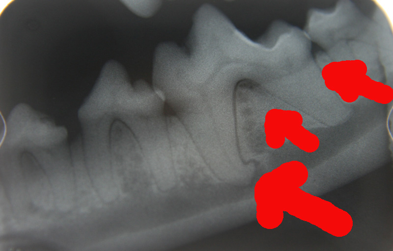 canine dental radiograph